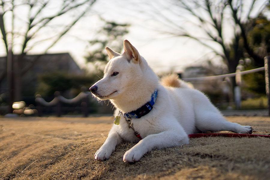 Shiba Inu Blanc - Couleurs Shiba Inu