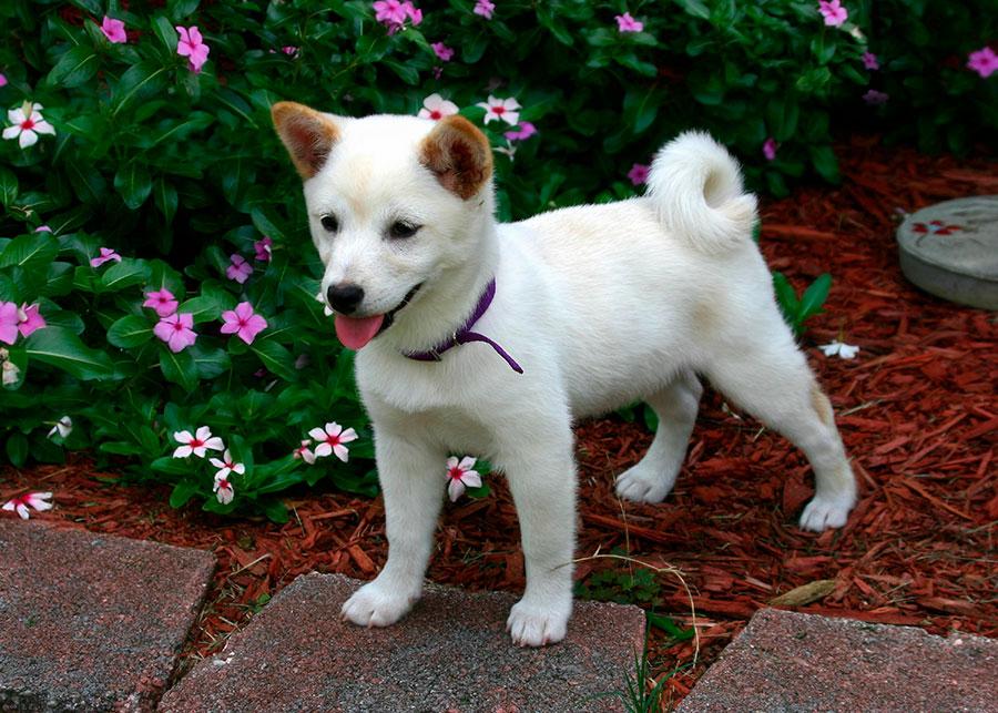 Un cachorro de Shiba Inu blanco