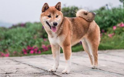 ¿Son los Collares de Perro GPS una buena inversión para mi Shiba Inu?