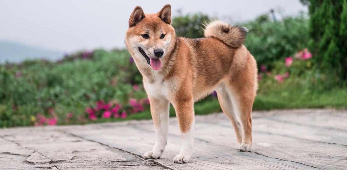 Shiba inu GPS para perros